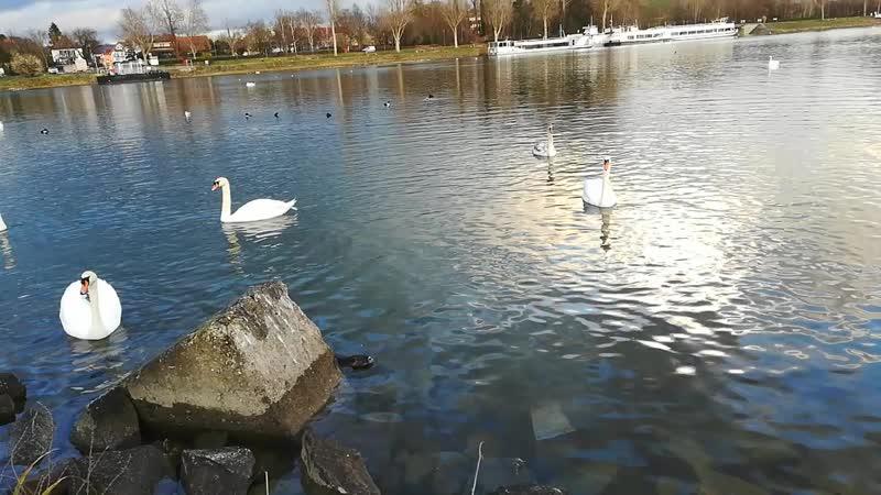 Рейн. Нутрия и лебеди
