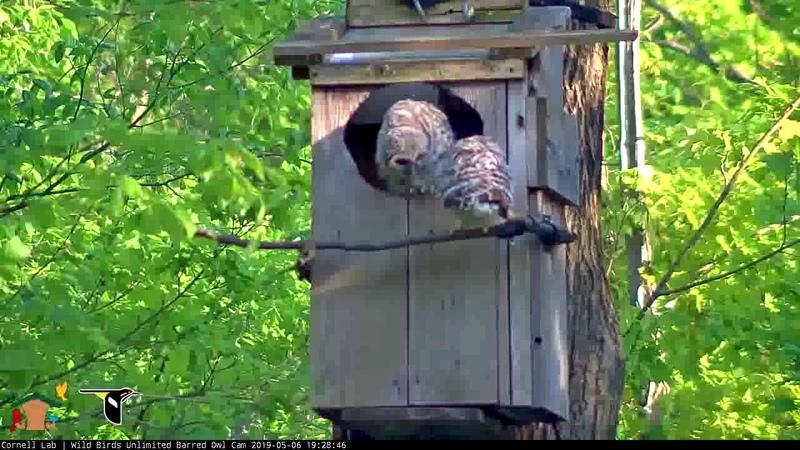 Owlet Starts Branching! | WBU Barred Owl Cam – May 6, 2019