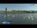 На Чебоксарском заливе снова появились лебеди