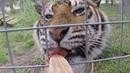 BIG CATS Getting Snacks!