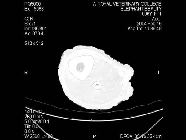Elephant hindlimb CT scan