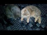 Ласки котэ урчит (мурлычет). Кот и кошка. Самое милое видео.mp4