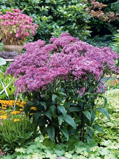 ПОСКОННИК Посконник - мощное корневищное растение высотой до 1,5-2 м с прочными, прямыми, ветвящимися в верхней части стеблями, облиственными по всей высоте. Посконник неприхотливый садовый