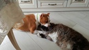 Стафф Умка и Мейн-кун Лунтик, очередной бой кота и собаки.