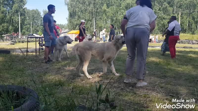 14 июля 2019 Выставка собак в Челябинске эксперт Майкл Пападатос Цезалай РОН 9 месяцев 1 отлично из 3 JCAC Лучший юниор