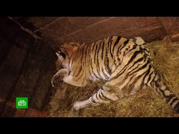 Пенсионер в халате и тапочках убил голодного тигра