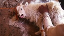 Cruel Cashmere Industry Exposed