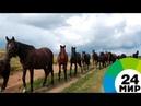 Кабардинская лошадь второе рождение МИР 24