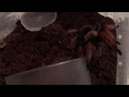 Brachypelma Boehmei Арахна пожирает мраморного таракана