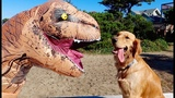 Sammie vs Baby T-Rex Toy Dinosaur Surprise - Golden Retriever Puppy Playtime Fun Vlog