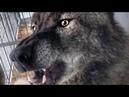 Умный канадский волк открывает перегонку. Интеллектуально умное животное. Самый крупный волк в мире.