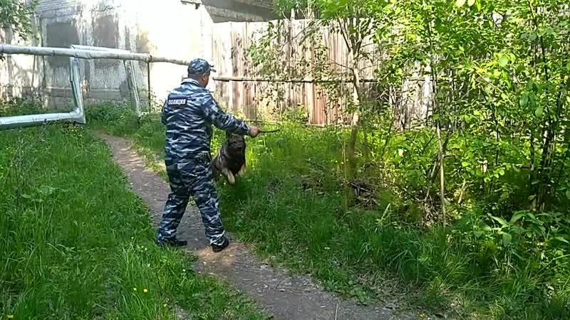 Лесосибирский кинолог Валерий Иванов и его напарник Жгун