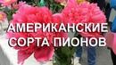 Пионы американской селекции. Выставка пионов. Фестиваль ПИОНЫ СЕВЕРНОЙ СТОЛИЦЫ 2018 Санкт Петербург