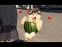 Melon boi