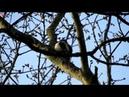 Пёстрый дятел и его Revier (нем. Buntspecht und sein Revier) (анг. Woodpecker and his territory)