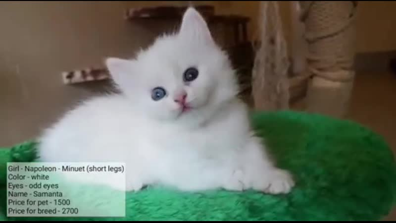 котенок Наполеон Samanta