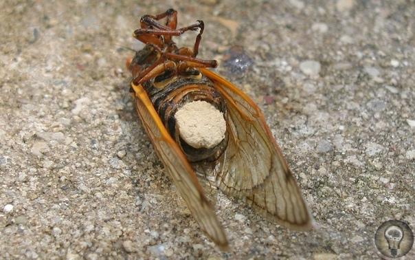 «Солонки смерти»: накачанные наркотиками цикады Такое случается с американскими периодическими цикадами. Личинки периодических цикад живут под землёй, на глубине от 30 см и более, питаясь соками