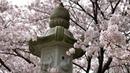 Cherry blossom festival in Japan, Hanami