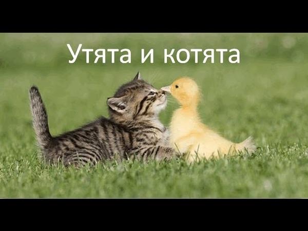 Как кошка выращивает и котят, и утят. Котята и утята