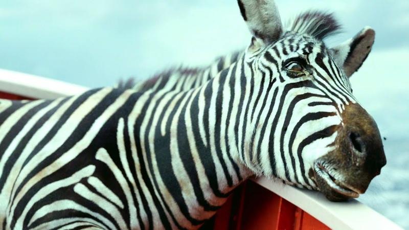 Голодная гиена убивает зебру и Апельсинку Орангутана Жизнь Пи 2012 год