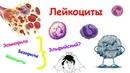 Лейкоциты Осторожно Не для ЕГЭ и не для слабонервных