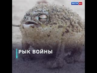 Пустынный узкорот - милая лягушка, которая мяукает