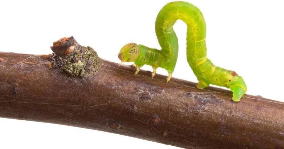 Черви и другие личинки насекомых могут быть вредителями в саду.