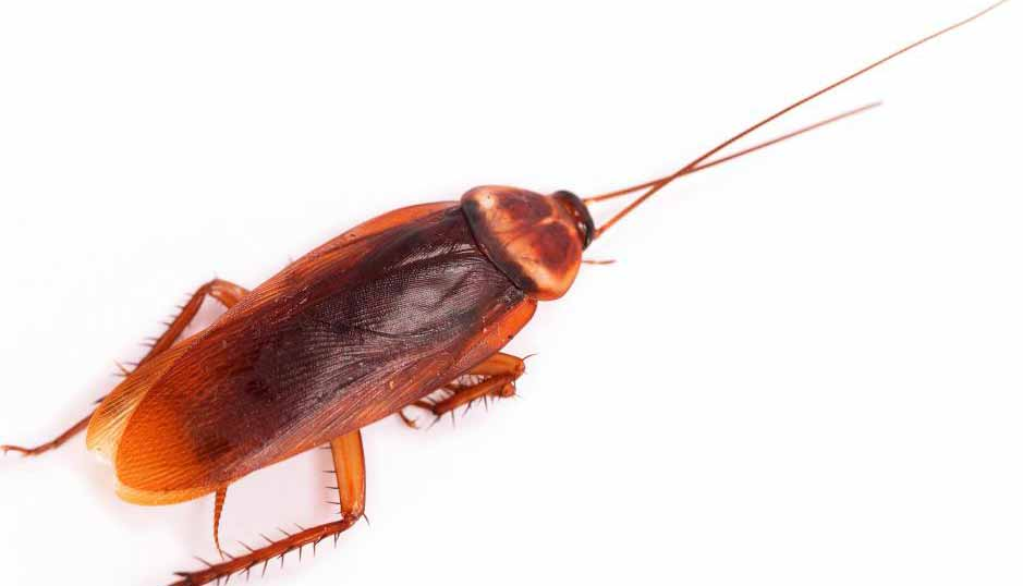 Дезинсектор может работать для уничтожения вредителей, таких как тараканы.
