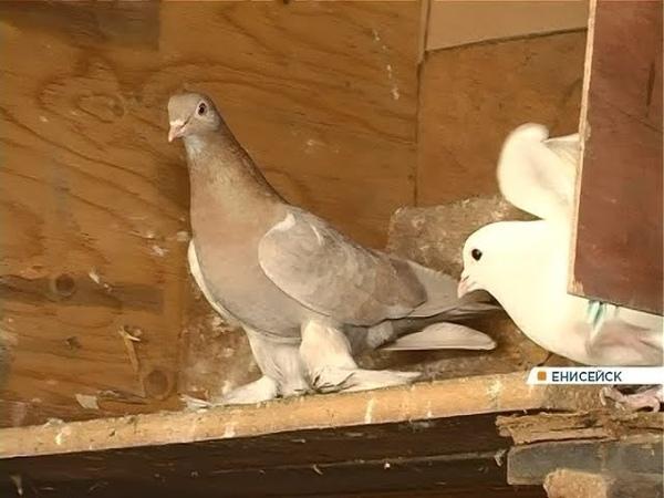 Житель Енисейска 50 лет разводит редких голубей. Есть даже с павлиньими хвостами