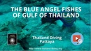 The blue angel fishes of gulf of thailand with the Thailand Diving Pattaya Club