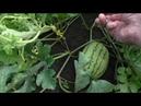 Как я формирую арбузы в открытом грунте