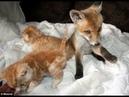 Их нашли на обочине! Три: брошенных котёнка и слепой лисёнок подарили друг другу семью)