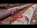 Миллионы красных крабов на Острове Рождества