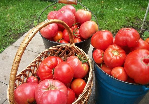 СЕКРЕТЫ КРУПНЫХ ПОМИДОР Чтобы у томатов плоды были покрупнее и созревали раньше, приготовьте для них питательные «напитки»:- на 10 л воды добавьте 3-4 капли йода. Поливаете под корень раз в