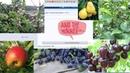 Розыгрыш плодовых растений Итоги конкурса - Три победителя