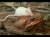 Cane Toads: An Unnatural History (Mark Lewis 1988)