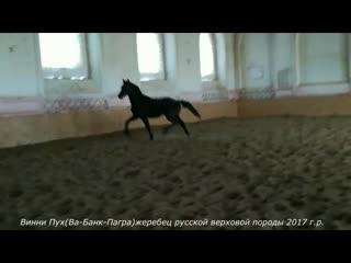 Виннипух(Ва-Банк-Пагра)жеребец русской верховой породы 2017 г.р.