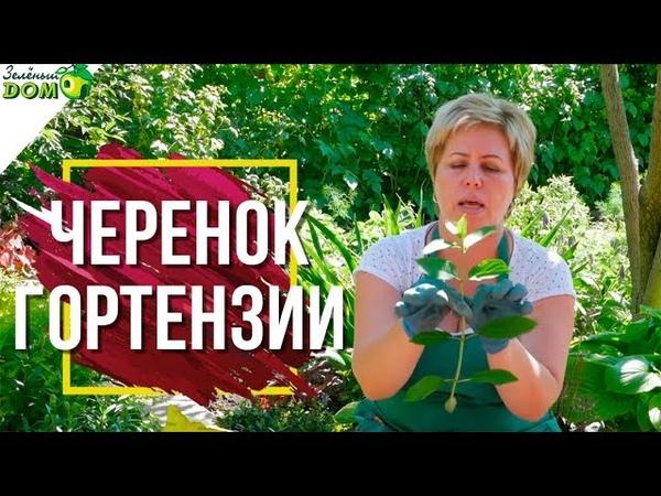 Правильное Черенкование Гортензии 🌺 Размножение Гортензии 🌸 Советы От Garden zoo