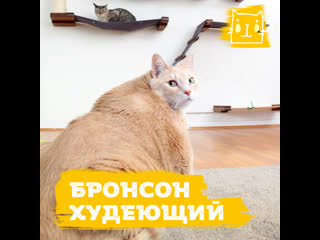 Кот бросил вызов лишнему весу