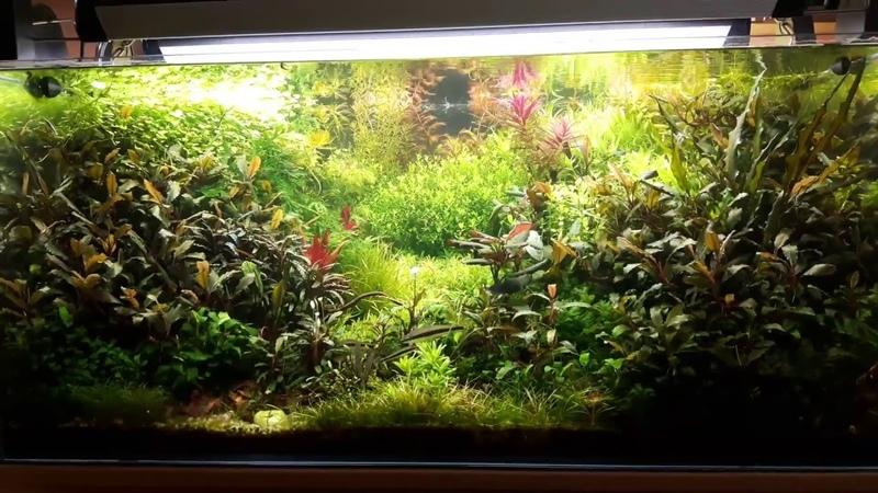 Akwarium Roślinne 270l Bucephalandra