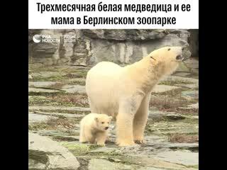 Медвежонок на прогулке в зоопарке Берлина