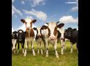 На Гавайях спасли 249 коров