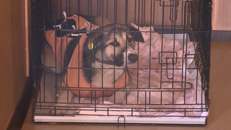 Полицейские озвучили причины смерти собак в костромском центре «Белый Бим»