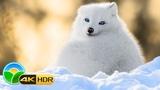 Majestic Winter Wildlife in 4K HDR