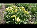Цветение сортового лилейника IRISH JACKPOT в саду www.jardindelux.ru