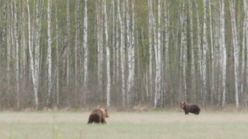 Журналисты ERR засняли в Тартумаа увлеченных брачными играми бурых медведей