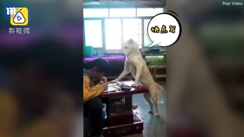 Parents train pet dog to supervise daughter as she does homework