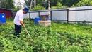 Как быстро прополоть картошку и не надорвать спину, поможет плоскорез Фокина. Снято на Iphone 8