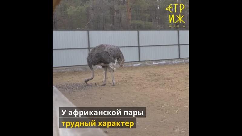 Strausy_pod_snegom.mp4