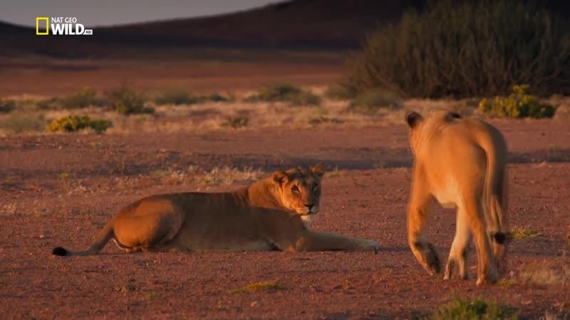 Короли на грани исчезновения: Львы пустыни Намиб (2015) HD 720